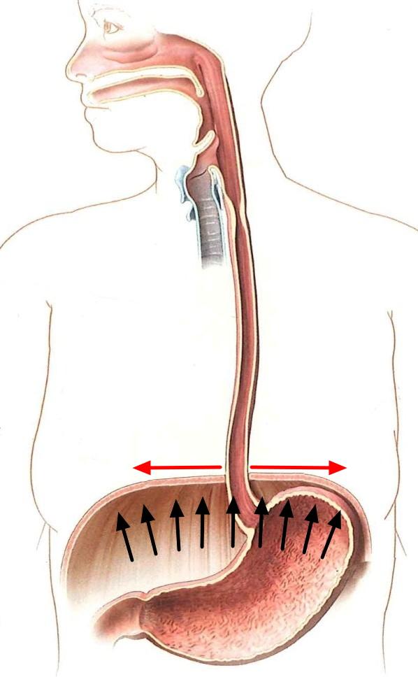 diaphragm_gaster